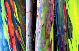 """【絶景タチヨミ】レインボー・ユーカリプタス:絵の具で塗られたかのように""""虹色なユーカリ"""""""