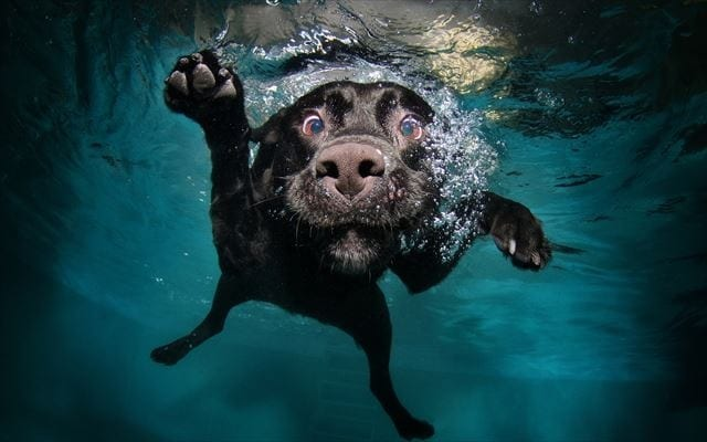 funny-dog-diving_R