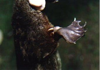 カモノハシの不思議で変な8個の特性や生体