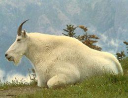 【90度の断崖絶壁で…?】ヤギのすごい生態&人間との意外な関係を7つの点で紐解く